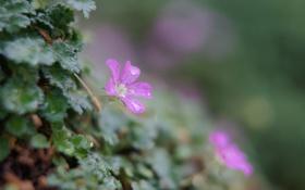 Обои зелень, листья, капли, цветы, растения, нежные