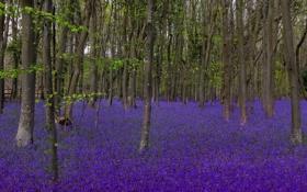 Обои лес, деревья, поляна, колокольчики, bluebells
