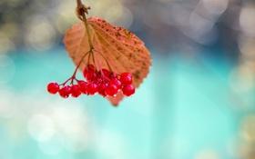 Картинка макро, лист, ягоды, калина