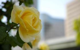 Обои роза, желтая, весенняя