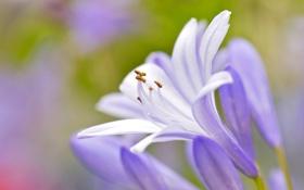 Картинка цветок, природа, лепестки, тычинки