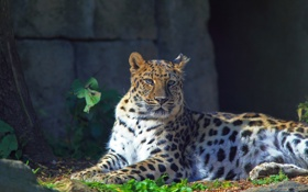 Обои взгляд, отдых, леопард, дальневосточный