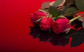 Обои листья, капли, отражение, фон, стебли, розы, красные