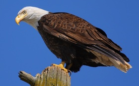 Обои птица, хищник, Белоголовый орлан
