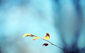Обои осень, небо, бирюза, дедево, веточка, листья, фон