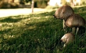 Обои лес, зелень, трава, макро, грибы