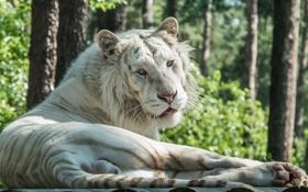 Картинка тигр, отдых, хищник, лежит, дикая кошка, зоопарк