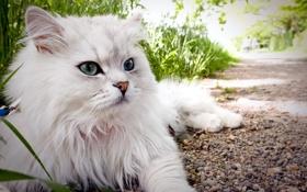 Обои кошка, взгляд, лето