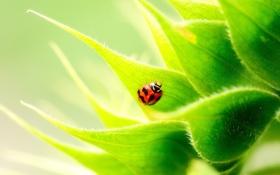 Обои лето, листья, божья коровка, подсолнух, насекомое