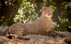 Картинка песок, кошка, отдых, гепард