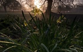 Обои цветы, Нарцисс, Rise of the daffodils