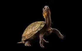 Обои чёрный, фон, черепаха, шея, голова