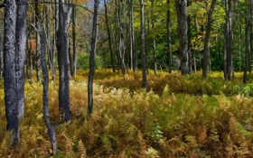 Обои лес, деревья, природа, папоротник