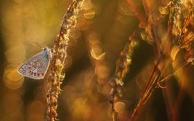 Картинка колоски, насекомое, бабочка, боке