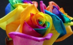 Обои роза, цветок, лепестки, краски, радуга