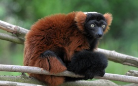 Картинка ветки, лемур, примат, вари