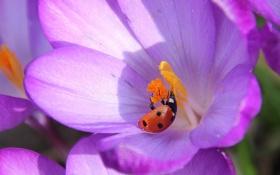 Картинка цветок, божья коровка, лепестки, насекомое, крокус