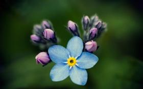 Обои цветок, макро, бутоны, незабудка