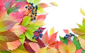 Обои осень, листья, ягоды, яркость