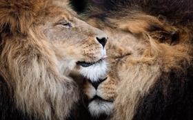 Обои природа, звери, львы
