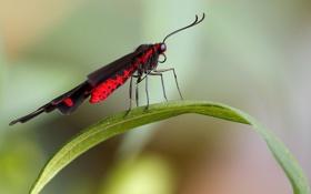 Обои лист, фон, бабочка, черная, красная