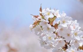Обои сакура, ветка, вишня