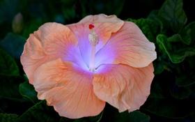 Обои персиковый, гибискус, цветок