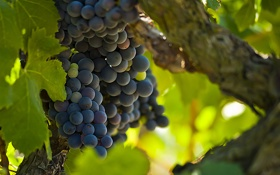 Обои листья, ягоды, ветка, зеленые, виноград, лоза, грозди