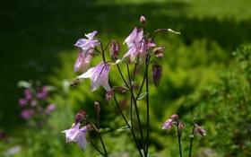 Обои цветы, пчела, фиолетовые, водосбор, аквилегия, aquilegia, орлики