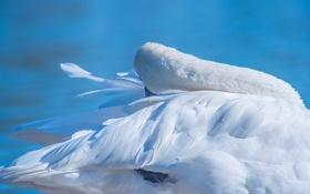 Картинка вода, птица, перья, лебедь
