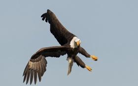 Обои орёл, птица, полёт