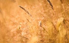 Обои лето, трава, природа, колоски