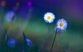 Обои поле, цветы, природа, фото, обои, растения