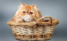 Обои корзина, киса, kitty, basket