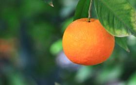 Картинка листья, апельсин, ветка, размытость