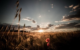 Картинка поле, природа, мак