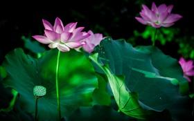 Обои цветы, природа, лилии