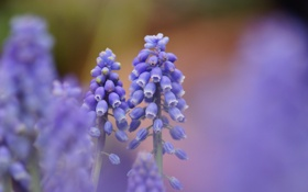 Обои цветы, природа, фокус, синие, Мускари