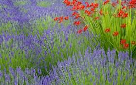 Обои поле, цветы, луг, лаванда, плантация