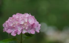 Обои зелень, цветок, лето, розовая, гортезия
