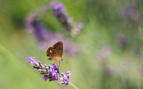 Картинка цветок, фон, бабочка, лаванда