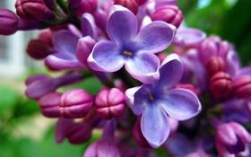 Картинка цветы, обои, сирень, нежная