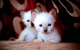 Картинка глаза, кошки, котята, белые, синие