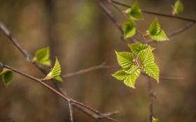 Обои листья, весна, листочки, природа, ветка, дерево