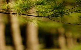 Картинка зелень, деревья, веточка, стволы, размытость, хвойное дерево