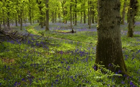 Картинка Morning, Woodland, Kinclaven, Bluebell Wood