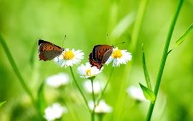 Обои трава, бабочки, цветы, две, ромашки, белые