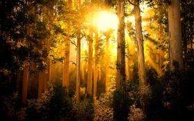 Обои лес, лучи, свет, деревья
