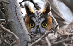 Обои взгляд, ветки, сова, птица, голова, глазища, Ушастая сова