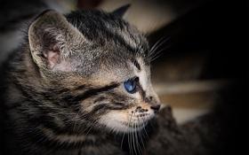 Обои кошка, глаза, взгляд, Кот